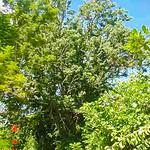 The Botanical Garden of Santa Clara University when I was a student thumbnail