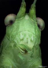 tettigonia viridissima vista frontal (quenoteam) Tags: mitutoyo macro extreme