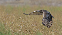 On The Hunt (Bill G Moore) Tags: redtailhawk raptor hawk wild wildlife nature grass field canon fortcollins colorado brown summer