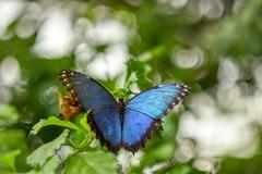 Morpho Peleides. (agnieszka.a.morawska) Tags: helios helios44m motylarnia mariposario mariposa nature beyondbokeh bokehlicious bkhq bluemorpho butterfly motyl morphopeleides morpho