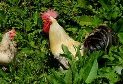 Roter Hahn mit Henne