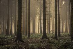 forest series #104 (Stefan A. Schmidt) Tags: warstein nordrheinwestfalen deutschland de penrtaxart forest tree trees sunlight sun sunbeam golden hour