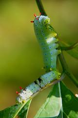 Promethea Moth Caterpillar (Callosamia Promethea) (kevpkelly) Tags: caterpillar nature outdoors insects canon rebel backyard colors