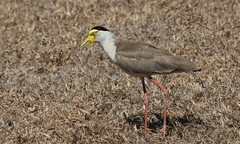 Masked Lapwing (Northern Form) (5) (Richard Collier - Wildlife and Travel Photography) Tags: wildlife naturalhistory birds australia australianbirds maskedlapwing nature