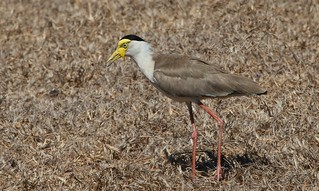 Masked Lapwing (Northern Form) (5)