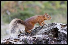 IMG_0084 Red Squirrel (Scotchjohnnie) Tags: redsquirrel sciurusvulgaris squirrel squirrelphotography wildanimal wildlife wildlifephotography wildandfree nature naturephotography naturewildlifeandbirds rodent canon canoneos canon7dmkii canonef70200mmf28lisiiusm scotchjohnnie