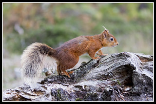 IMG_0084 Red Squirrel