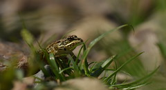 Grenouille verte (guiguid45) Tags: nature sauvage animaux mammifères loiret loire d810 nikon 150mmf28 sigma macro proxi grenouilleverte pelophylaxklesculentus batracien ranaesculenta