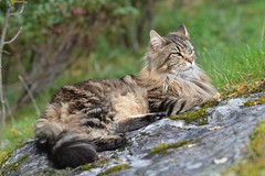Elvis sept., 2018 (KvikneFoto) Tags: katt cat elvis 2018 bokeh nikon