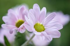 chrysanthemum 5058 (junjiaoyama) Tags: japan flower plant chrysanthemum mum pink autumn fall macro bokeh