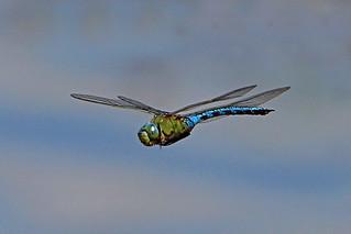 emperor dragonfly (Explore)