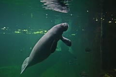 """Hello people!"" ;) (green_lover (I wait for your COMMENTS!)) Tags: manatee mammals animals zoo wrocław poland fauna underwater water"