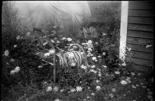 Queen Anne's Lace, in the wind, garden hose, Weskeag Farms, Thomaston, Maine, Beier Beirex, Arista.Edu 200, Ilfosol 3 developer, mid August 2018