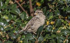 Spuggie (davidrhall1234) Tags: housesparrowpasserdomesticus sparrow bird birds birdsofbritain beak housesparrow nairn scotland countryside coast coastal feather nature nikon outdoors shoreline shore wildlife world urban