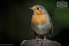 Robin (Baljinder.Gill) Tags: robin redrobin birds birdphotography bird birdsupclose wildlife wildlifephotography wildlifenature wildbirds wildlifeupclose wildbird animalphotography animals animalsupclose animal nikon nature naturephotography naturewildlife
