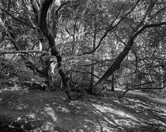 Ancient Beech (Hyons Wood) (Jonathan Carr) Tags: walkertitansf blackwhite largeformat hp5 ultrafin ruralnortheast ancientwoodland trees 4x5 landscape