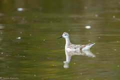 _V2A3164 (Confusion_Circle) Tags: reifel necked phalarope red