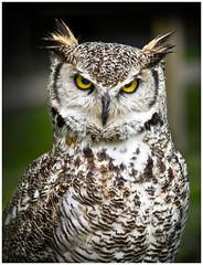 Eagle Owl (Heathcliffe2) Tags: eagle owl bird birdofprey hunter hunt falconry feathers beak eyes speckled ears tufts nature natural wild wildlife britishisles posing angry