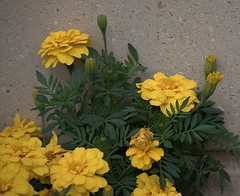 Back Against The Wall (Scott 97006) Tags: flowers pretty bloom yellow plant leaves wall
