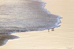 Tsunami (stephanegachet) Tags: france bretagne breizh bzh morbihan ploemeur guidel loch animal nature oiseau bird sea seabird mer stephanegachet gachet