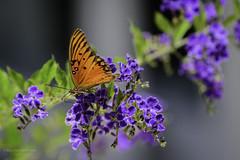 Gulf Fritillary Dining on Duranta (halladaybill) Tags: backyard duranta gulffritillarybutterfly butterfly garden splitcomplementcolorscheme orangecounty california naturespalette