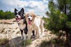 Raksa and Batou (czypek) Tags: dog animal desert portrait nature outdoor canon 5d pet bordercollie 50mm