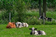 Lazy Days of Summer (Thomas Dwyer) Tags: cow ohio farm nikon d7000 sigma 18250 thomasdwyer peaceful serene meadow pasture fairborn yellowsprings