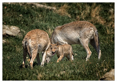 little one [ little Wolfi ] (Armin Fuchs) Tags: arminfuchs wolf timberwolf family animal grass green nature cub wolfcub baby littlewolfi wolfiwolf