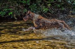 Kyra correndo no rio (mcvmjr1971) Tags: vermelho parque estadual da serra do papagaio lado de baependi minas gerais brasil nikon d7000 border collie dog cachorro fun river rio play brincando água water 2018