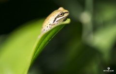 Peeker (matthewolsonphotography.com) Tags: frog treefrog amphibian frogs wildlife froglet herpetology outdoor ridgefield macro green