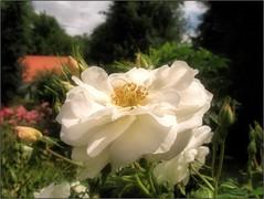 (Tölgyesi Kata) Tags: nemzetibotanikuskert vácrátótibotanikuskert botanikuskert botanicalgarden withcanonpowershota620 vácrátót rosen rosa rose rózsa whiteflower fleur virág summer nyár
