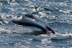 AHK_7566 (ah_kopelman) Tags: unkmncresli2018082601 2018 cresli creslivikingfleetwhalewatch megapteranovaeangliae montaukny vikingfleet vikingstarship humpbackwhale whalewatch