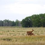 Suckling deer at Rocky Mountain Arsenal thumbnail