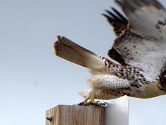 Take-off! (yooperann) Tags: red tailed hawk buteo jamaicensis claws talons wings gwinn marquette upper peninsula michigan bird