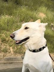 Suna-White Shepherd-Husky-Samoyed (Alpen Schatz - Mary Dawn DeBriae) Tags: happy customer alpenschatz bernesemountaindog dog swissdogcolar hunterswisscrosscollar doggles stein