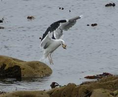 Great Black-backed Gull with Fish (chdphd) Tags: stonehaven aberdeenshire kincardineshire larusmarinus larus