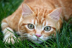 Spritz (En memoria de Zarpazos, mi valiente y mimoso tigre) Tags: cat ginger gato gatto micio gatopelirrojo gatoatigradonaranja gattoarancione miciorosso orangetabby orangekitten kitty katze kitten gatitonaranja hierba césped verde naranja