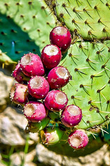Figues de Barbarie (thierrybalint) Tags: fruits cactusraquette cactus nikon nikoniste macro jardin fleur plante jardinbotanique parcborély figuesbarbarie barbarie