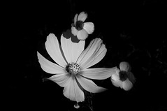 Garden Flowers (Richie Rue) Tags: nikond300 flowers blooms flora floral petals garden summer monochrome blackandwhite art fineart