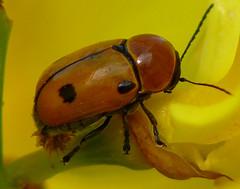 p1390049 (claudiopoli) Tags: animali animalia arthropoda insecta coleoptera chrysomelidae chryptocephalus bimaculatus autouploadfilenamep1390049jpg