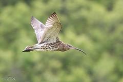 Courlis cendré - Numenius arquata - Eurasian Curlew (TESS4756) Tags: 2018 charadriiformes courliscendré faune faunedenorvège norvège oiseaux scandinavie scolopacidés thérèseb