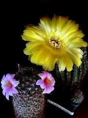 mammillaria sheldonii + lobivia aurea (magnitferro) Tags: cactus mammillaria sheldonii lobivia aurea