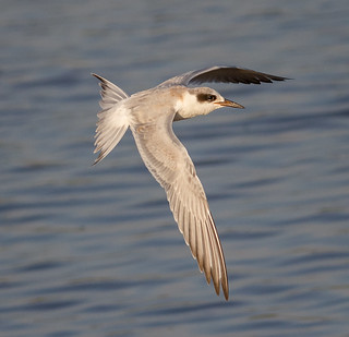 Juvenile Forsters Tern