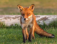 Sunset and The wiley Red Fox (donnasmith13) Tags: animal background brown canine canon77d carnivore european europeanredfox fox fur grass hunt hunter isleofwight mammal natural nature orange outdoors predator red redfox summer vulpes vulpesvulpes wild wildlife