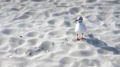 Möwe (sfp - sebastian fischer photography) Tags: 2018 laboe september urlaub ostseestrandbad strand beach strandkörbe möwen seagulls