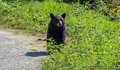 Black bear mom (R. Sawdon Photography) Tags: blackbear bear grass path wildlife animal pocotrail cub bearcub britishcolumbiawildlife