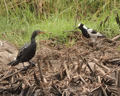 Reed comorant face to face with blacksmith plover (Nagarjun) Tags: nairobinationalpark kenya africa