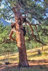 Up a tree (Pejasar) Tags: iphone colorado rentalhouse vacation backyard estespark climb tree mom cubs three family blackbear