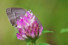 Thécla du Chêne (-Dop-) Tags: lycaenidae barvauxcondroz namur belgique neozephyrusquercus