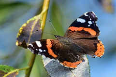 Адмирал, Vanessa atalanta, Red Admiral (Oleg Nomad) Tags: адмирал vanessaatalanta redadmiral бабочка насекомые чешуекрылые butterfly insects moscow